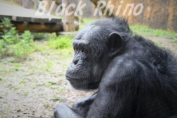 ニシチンパンジー キケ01 いしかわ動物園