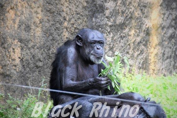 ニシチンパンジー キケ02 いしかわ動物園
