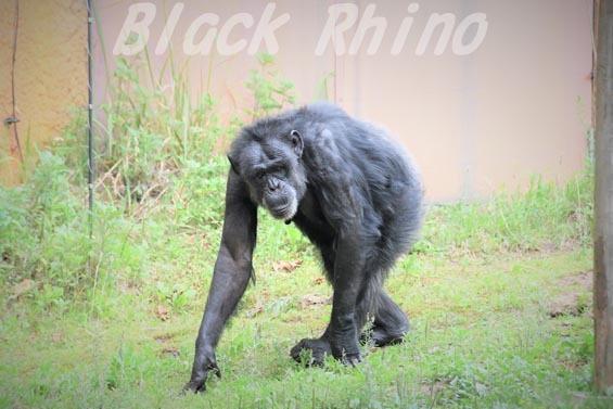ニシチンパンジー キケ03 いしかわ動物園