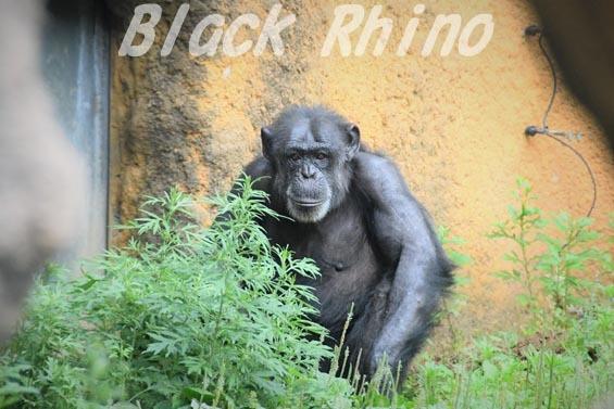 ニシチンパンジー キケ04 いしかわ動物園