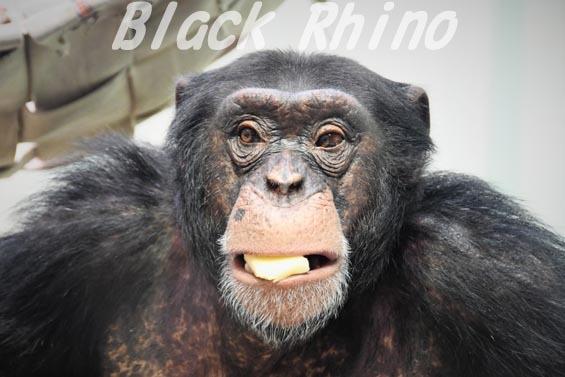 ニシチンパンジー ハロー01 いしかわ動物園