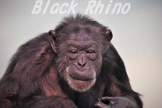 ニシチンパンジー メロン01 いしかわ動物園