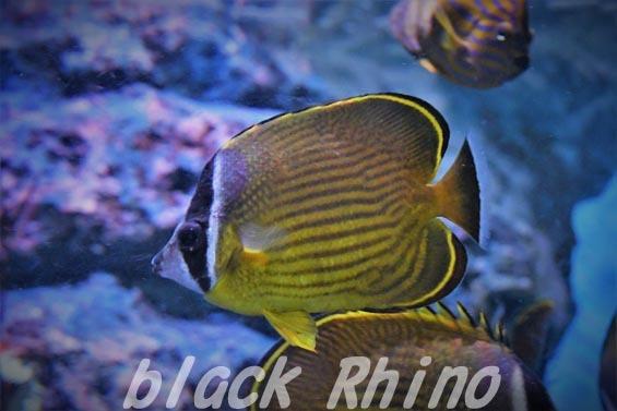チョウチョウウオ01 碧南海浜水族館