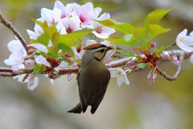 かンムリチメドリと桜(5)