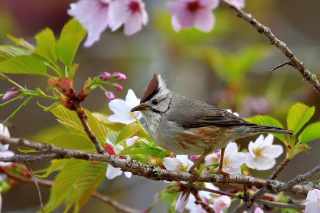 かンムリチメドリと桜(3)