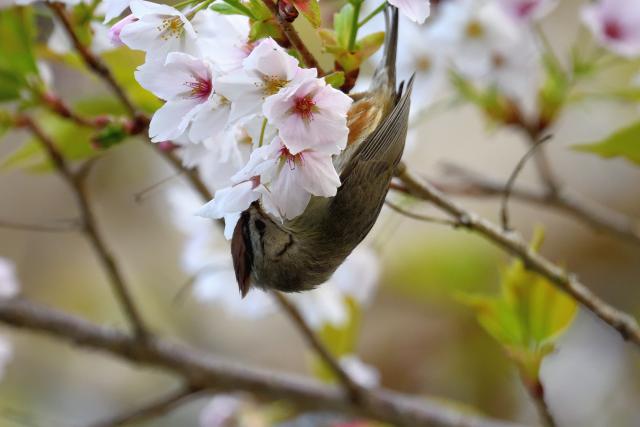 かンムリチメドリと桜(1)