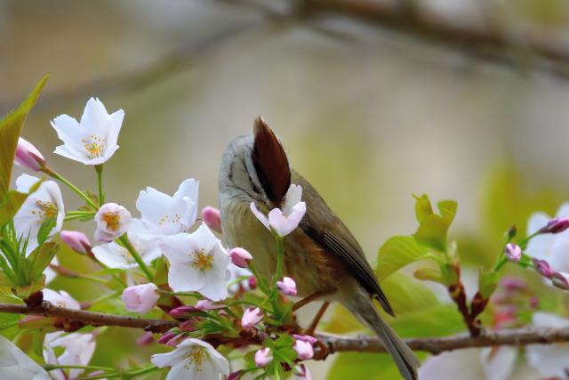 カンムリチメドリと桜(2)