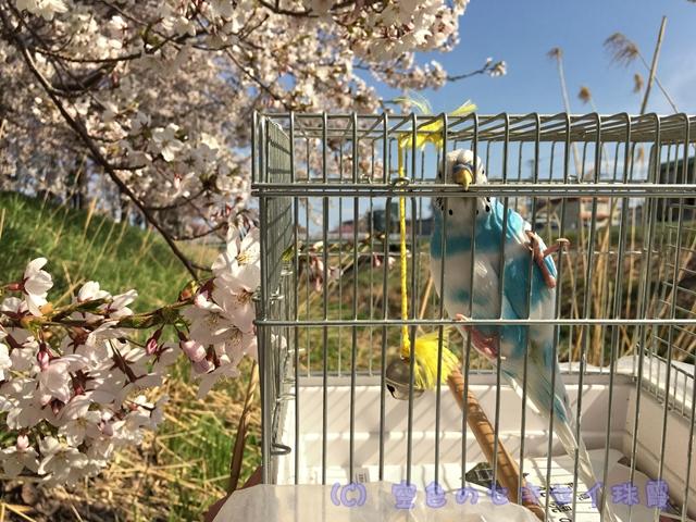 桜 花見 インコ セキセイインコ 空色のセキセイ珠霞 空色インコ