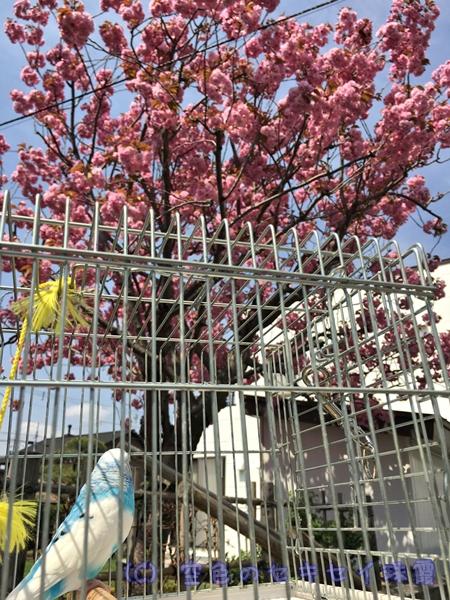 八重桜 桜 花見 インコ セキセイインコ 空色のセキセイ珠霞 空色インコ