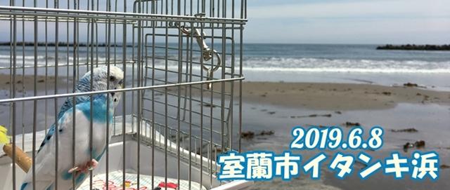 インコ セキセイインコ 珠霞 空色 空色インコ 室蘭 イタンキ イタンキ浜