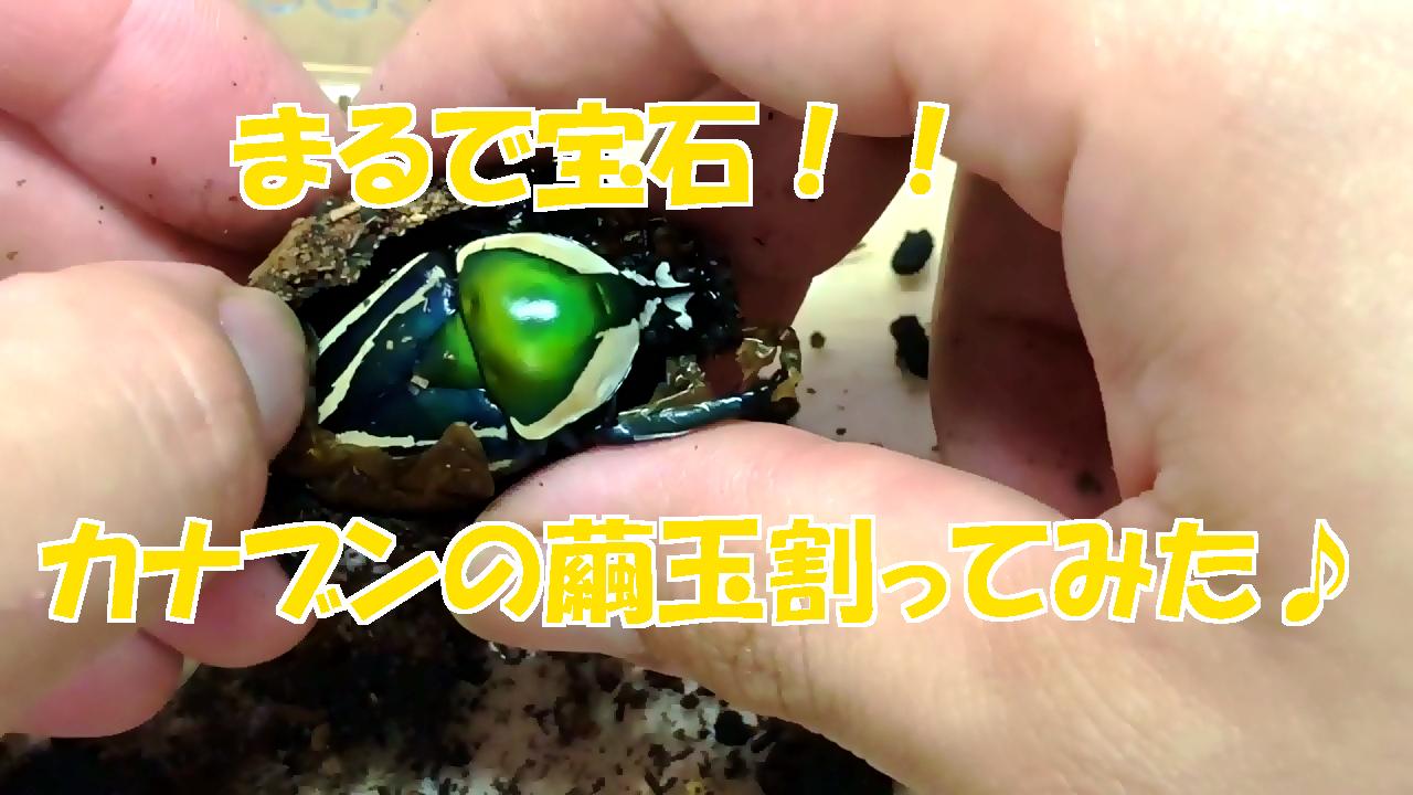 宝石のように綺麗♪シロヘリカナブンの繭玉割ってみた!
