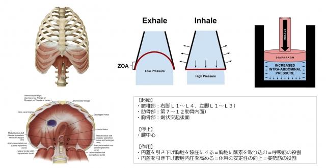 横隔膜の解剖