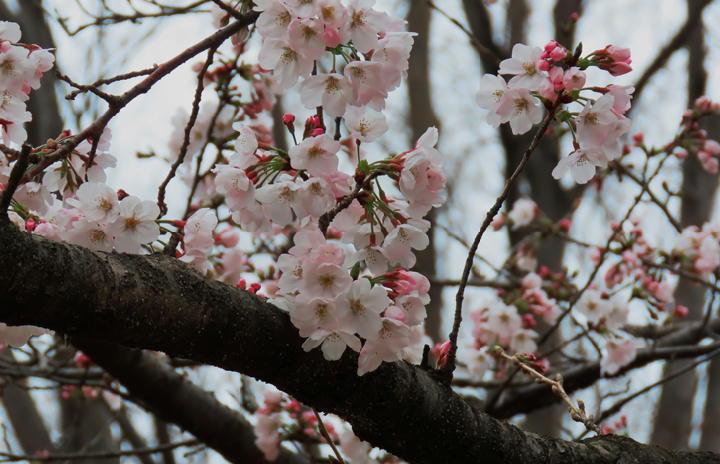 井の頭公園の桜-342