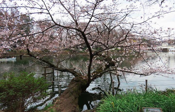 井の頭公園の桜-343