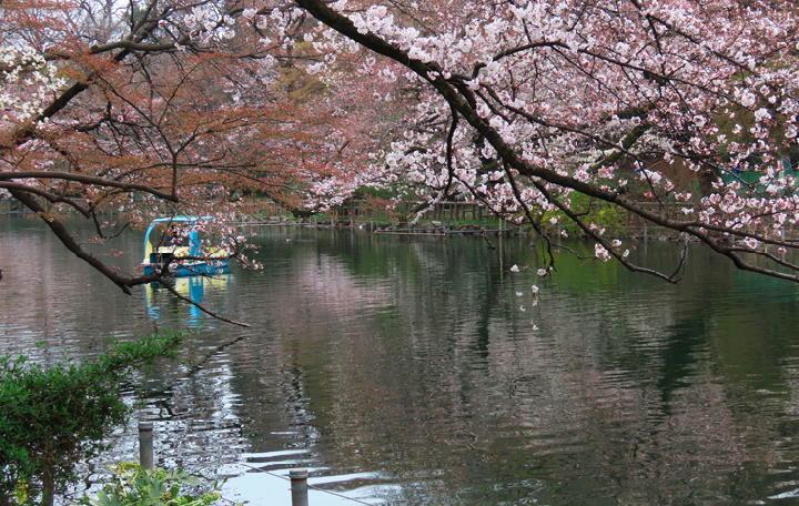 井の頭公園の桜-346