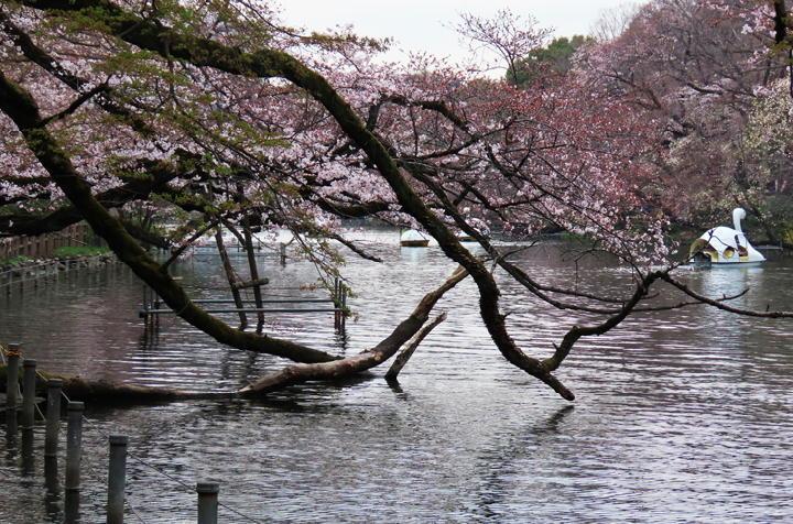 井の頭公園の桜-370