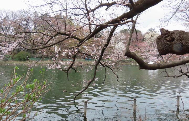 井の頭公園の桜-352