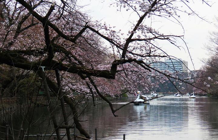 井の頭公園の桜-363