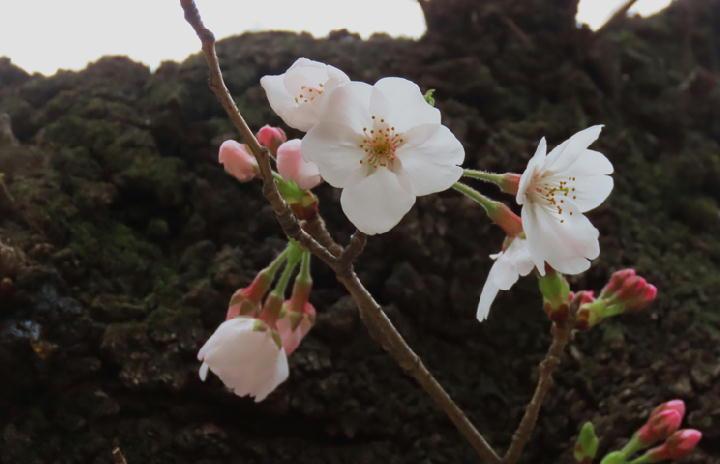 桜-349