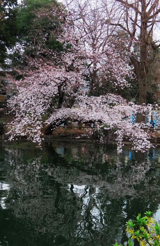 井の頭公園の桜-358