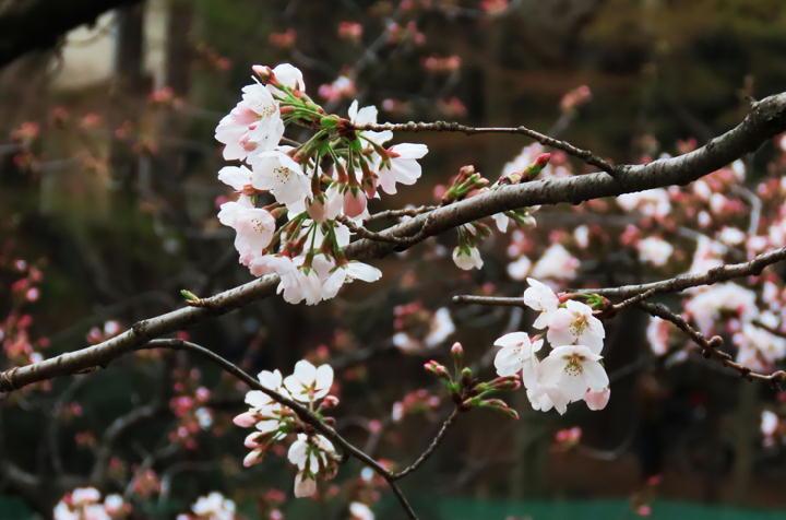 井の頭公園の桜-353