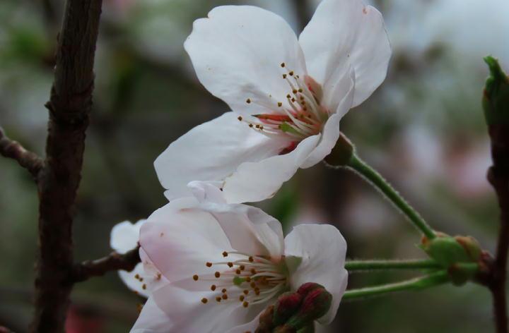 桜-356