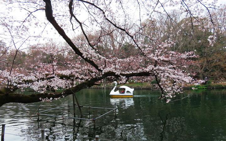 井の頭公園の桜-374