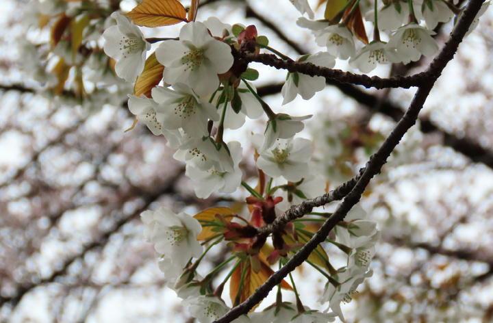 大島桜-409