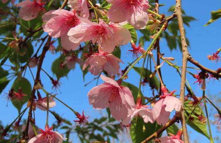 大漁桜-517