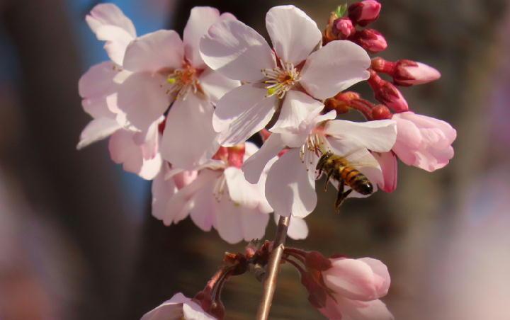 越の彼岸桜-508