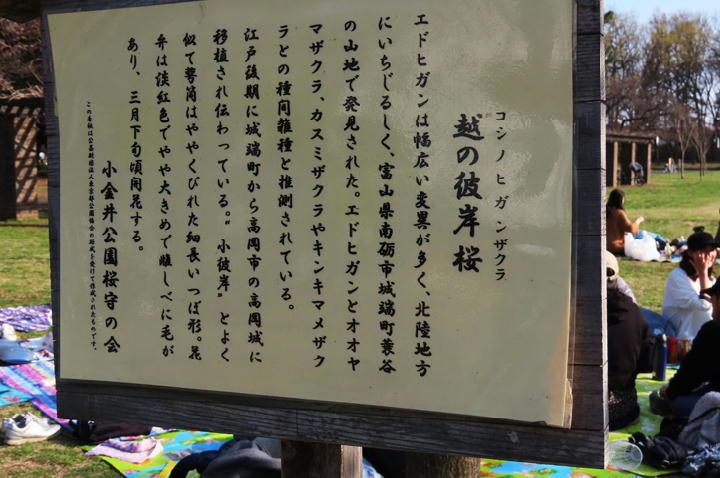 越の彼岸桜-511