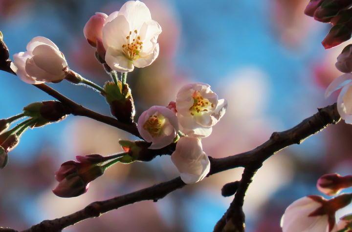越の彼岸桜-505