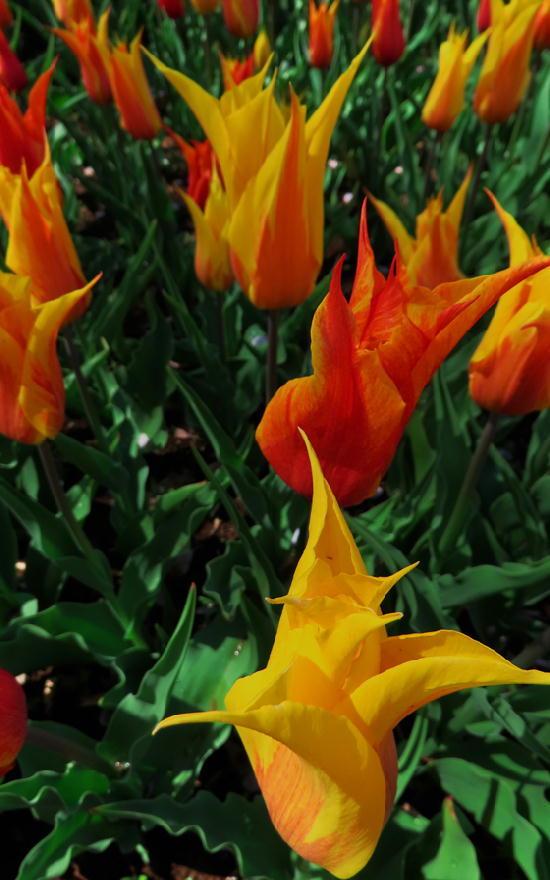 オレンジクィーン-698