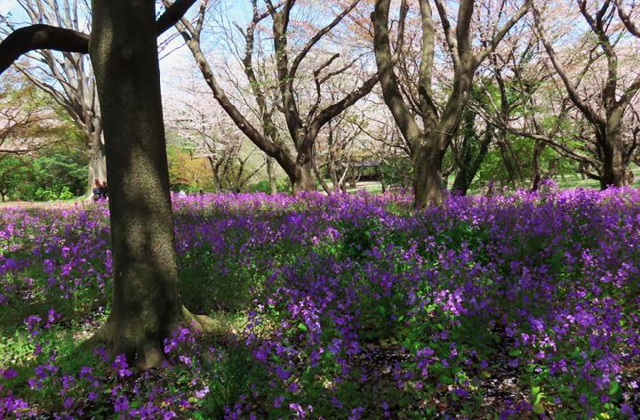 紫菜花-787