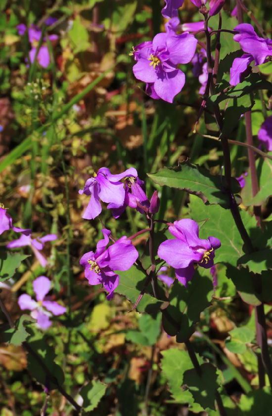 紫菜花-760