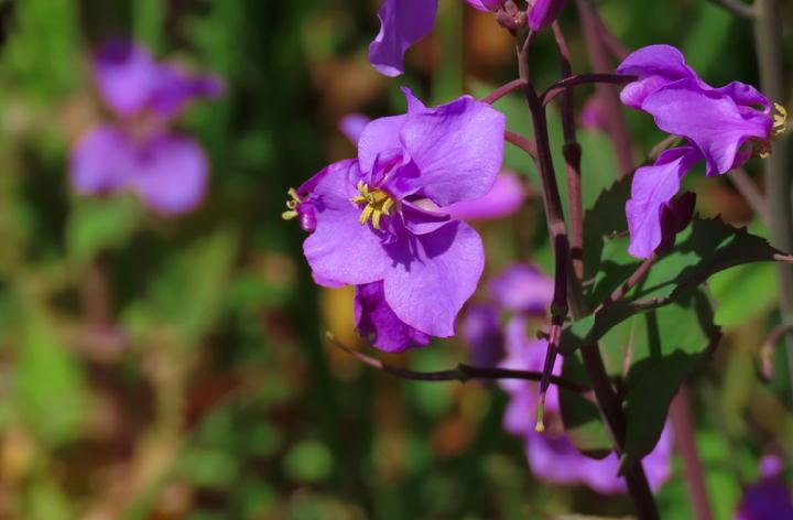紫菜花-758