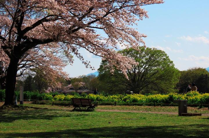 桜と菜の花-863