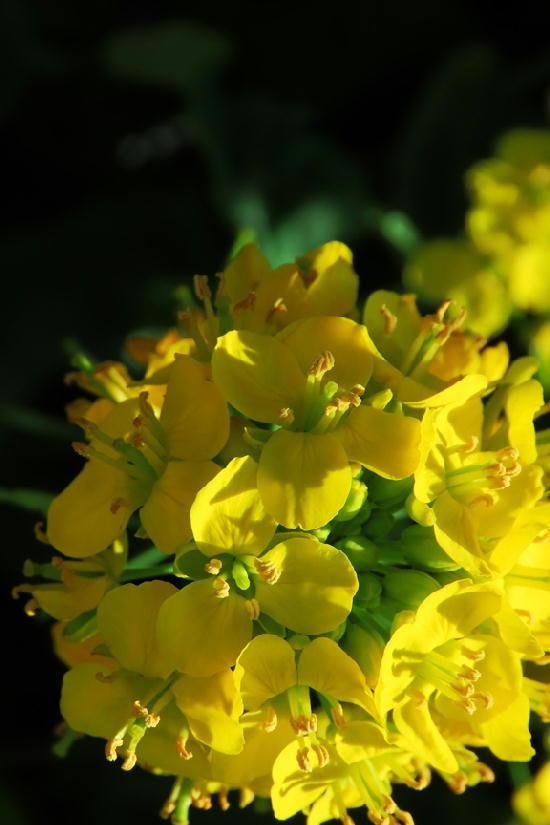 菜の花-866