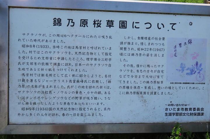 錦の原桜草-058