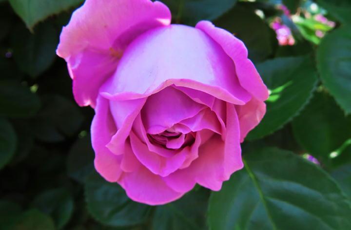 薔薇フェスタ-254