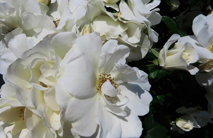 薔薇フェスタ-258