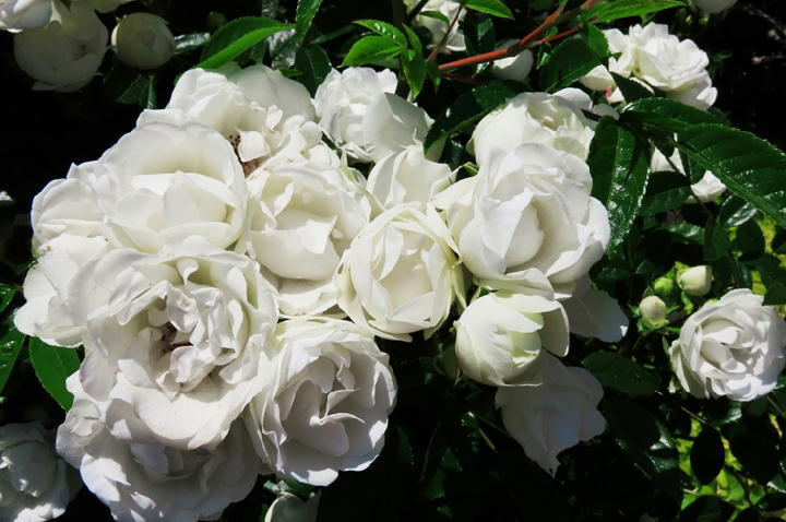 薔薇フェスタ-282