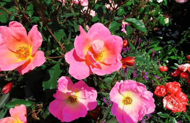 薔薇フェスタ-261