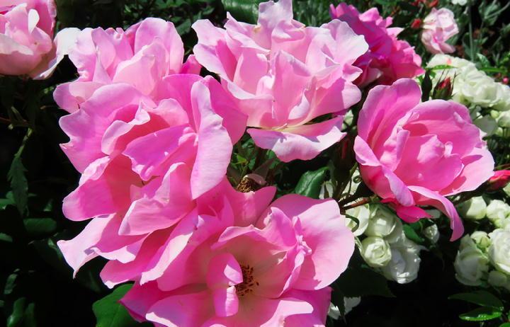 薔薇フェスタ-281