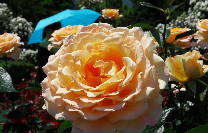 薔薇フェスタ-283
