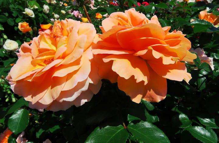 薔薇フェスタ-260