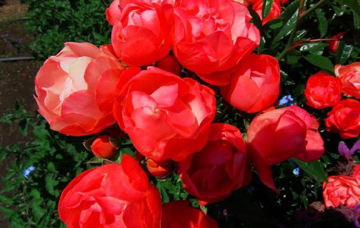 薔薇フェスタ-256