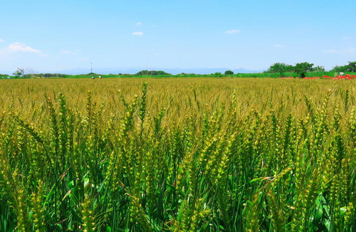 麦畑-382