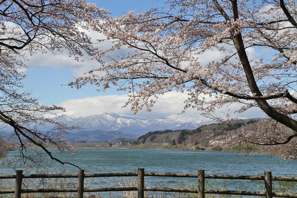 194sakura02.jpg