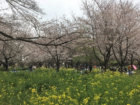 190331 zenshoen-sakura-11